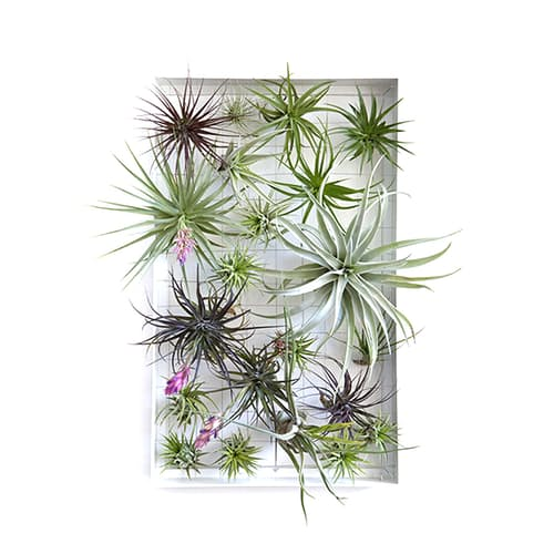 Airplantman Airplant Frame + Airplants - 11\