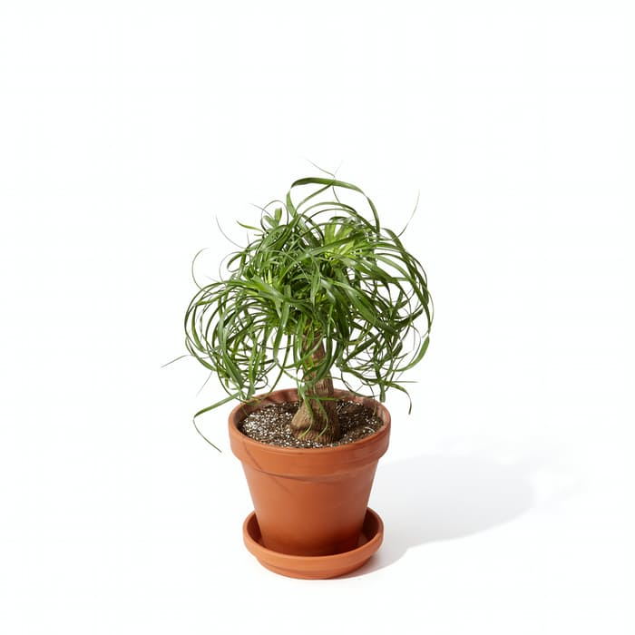"Picture of Live Pony Tail Palm  aka Beaucarnea recurvata Plant Fit 4"" Pot"