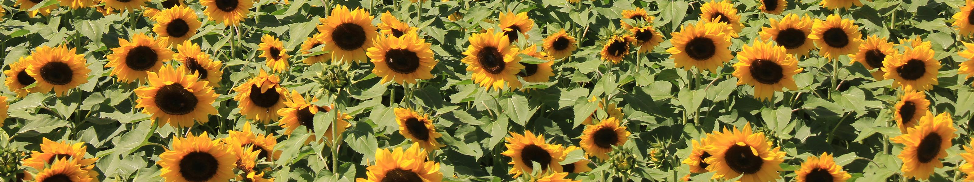 Sun.flowers header.jpg?ixlib=rails 2.1