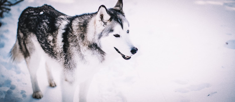 Loki Wolfdog Huckberry Journal | Huckberry