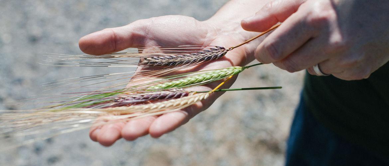Featured new grain economy westland whiskey